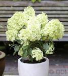 Hochstamm Rispenhortensie Bobo® 40-60cm - Hydrangea paniculata