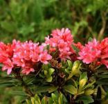 Japanische Azalee Little Red 20-25cm - Rhododendron obtusum - Zwerg Alpenrose