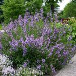 Echter Salbei Würzburg - Salvia officinalis
