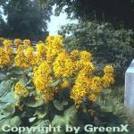Hessisches Kreuzkraut - Ligularia hessei