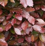 Blut Buche Atropunicea 40-60cm - Fagus sylvatica