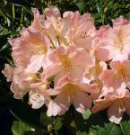 Rhododendron Percy Wiseman 25-30cm - Alpenrose
