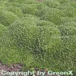 Andenpolster - Azorella trifurcata