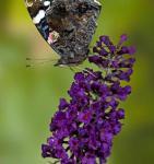 Schmetterlingsstrauch Buzz Midnight 30-40cm - Buddleja