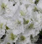 Japanische Azalee Patricia Barmold 15-20cm - Rhododendron luteum - Zwerg Alpenrose