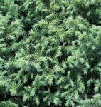Sicheltanne Vilmorin Gold 20-25cm - Cryptomeria japonica