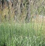 Riesen Pfeifengras Cordoba - Molinia arundinacea