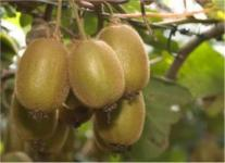 Selbstfruchtende Kiwi Jenny 80-100cm - Actinidia chinensis