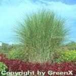 Chinaschilf Gracillimus - Miscanthus sinensis