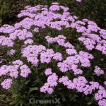 Schafgarbe Lilac Beauty - Achillea millefolium