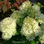 Rispen Hortensie Annabelle 40-60cm - Hydrangea paniculata