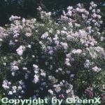 Persische Flieder 30-40cm - Syringa persica