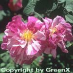 Historische Rose Versicolor 30-60cm