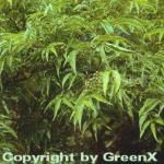 Japanischer Korkbaum 80-100cm - Phellodendron japonicum