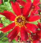 Mädchenauge Limerock Ruby - Coreopsis rosea