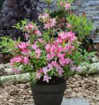 Rhododendron Rosata 50-60cm - Rhododendron viscosum