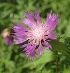 Silber Flockenblume - Centaurea pulcherrima