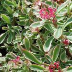 Kaukasus Asienfetthenne Tricolor - Sedum spurium