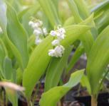 Maiglöckchen Plenfloria - Convallaria majalis