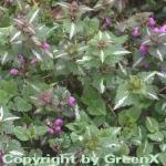 Waldnessel Chequers - Lamium maculatum