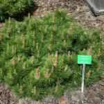 Zwerg Schwarzkiefer Hornibrookiana 60-70cm - Pinus nigra