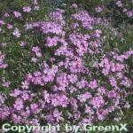 Teppich Phlox Moerheim - Phlox subulata