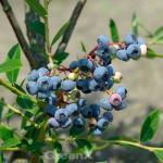 Heidelbeere Darrow 20-30cm - Vaccinium corymbosum