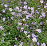 Schleieraster Little Carlow - Aster cordifolius