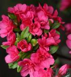 Japanische Azalee Änne 15-20cm - Rhododendron obtusum