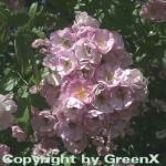 Kletterrose Apple Blossom 30-60cm