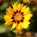 Mädchenauge Sunfire - großer Topf - Coreopsis grandiflora Sunfire
