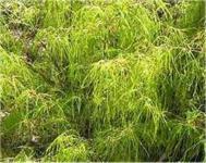 Fächerahorn Koto no ito 80-100cm - Acer palmatum