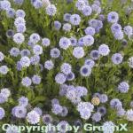 Kugelblume - Globularia punctata