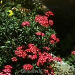 Schafgarbe Desert Red - großer Topf - Achillea millefolium