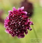 Witwenblume Sauce - Scabiosa atropurpurea
