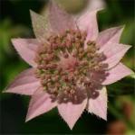Kaukasische Sterndolde - Astrantia maxima