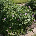 Storchenschnabel Hollywood - Geranium oxonianum