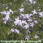 Teppich Phlox G. F. Wilson - Phlox subulata
