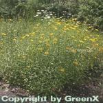 Ochsenauge - Buphthalmum salicifolium