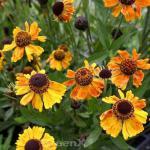 Sonnenbraut Wyndley - Helenium cultorum