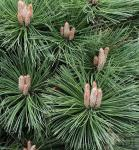 Japanische Schwarzkiefer Kotobuki 40-50cm - Pinus thunbergii