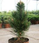 Schlangenhautkiefer Helmers Japan 50-60cm - Pinus leucodermis