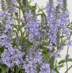 Niederliegender Garten Ehrenpreis Nestor - Veronica prostrata