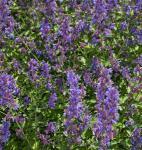 Katzenminze Zinsers Giant - Nepeta grandiflora