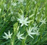 Präriekerze Alba - Camassia leichtlinii