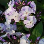 Hohe Flammenblume Violetta Gloriosa - Phlox Paniculata