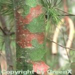 Tempel Kiefer 60-70cm - Pinus bungeana