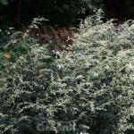 Chinabeifuss - Artemisia lactiflora