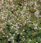 Keilblatt Steinbrech Boglandii - Saxifraga cuneifolia