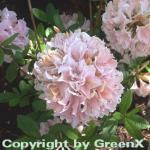 Rhododendron Soir de Paris 30-40cm - Rhododendron viscosum